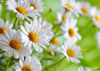 Дейзи цветя
