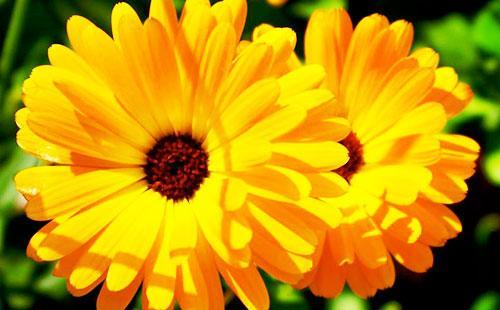 Calendula kukat
