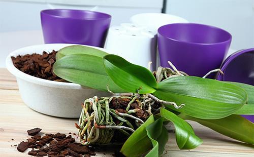 Orkideajuuret