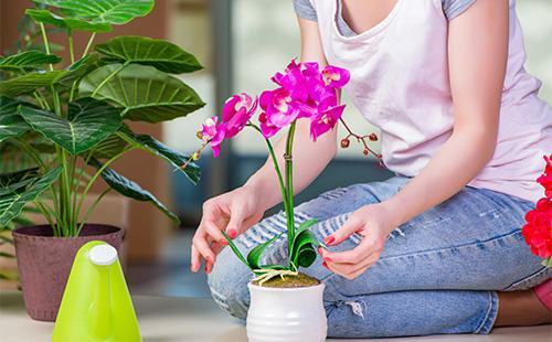 Orkideanhoito