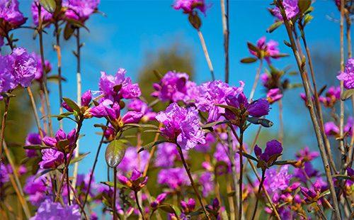 Виолетови цветя ледум
