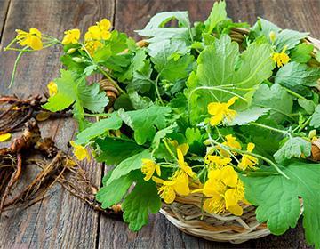 Celandine listy na talíři