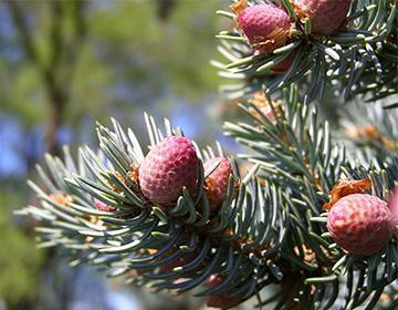 Pine pupeny na větvi