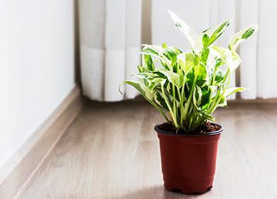 Hrnková scindapsus rostlina