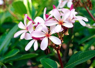 Květiny pokojové rostliny Plumeria