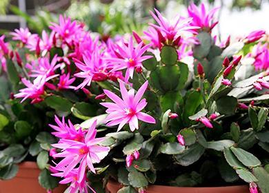 Růžové květy Ripsolidopsus