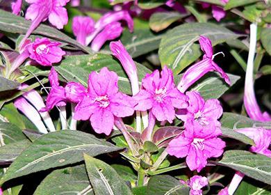 Ruelia květiny