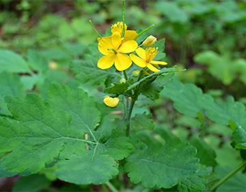 Celandine květiny